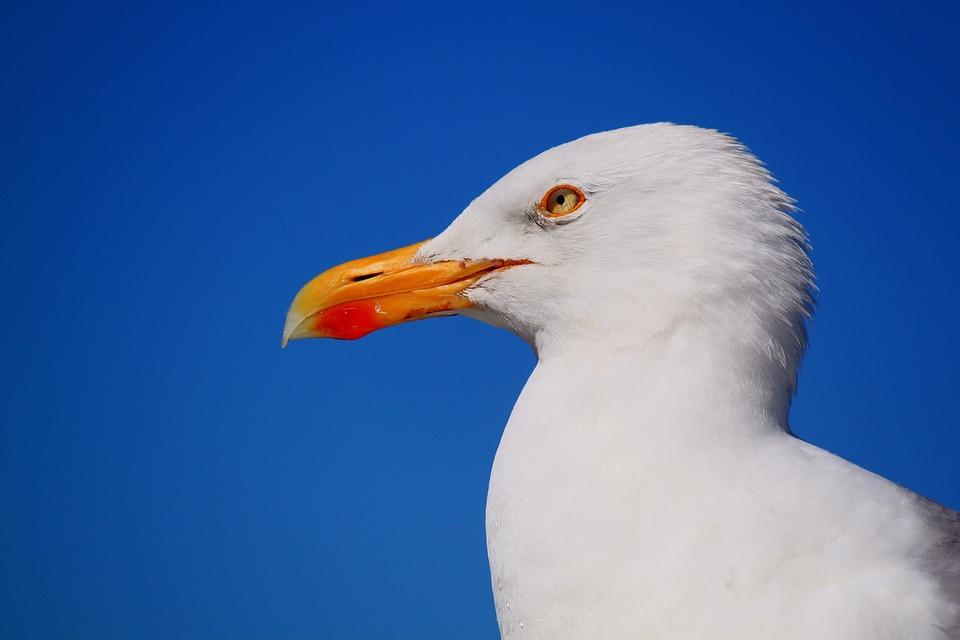 Seagull, Bird, Animal, Water Bird, Close Up, Sky