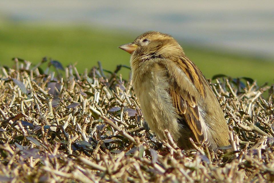 Sparrow, Bird, Sperling, Feather, Animal, Plumage