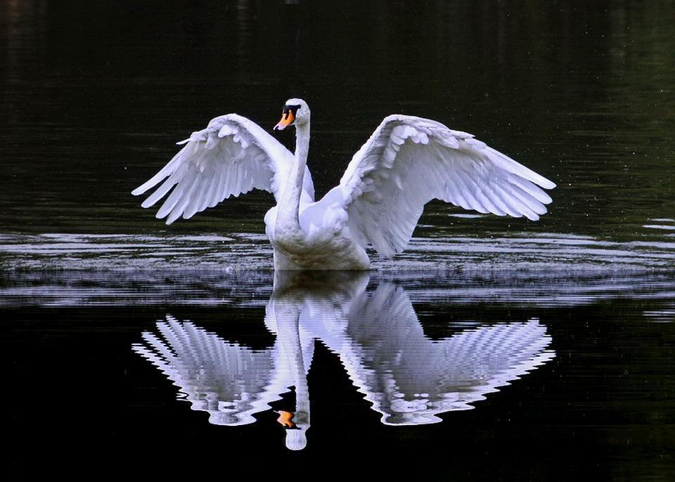 Swan Cob, Showing Off, Reflection, Bird, Animal, Lake
