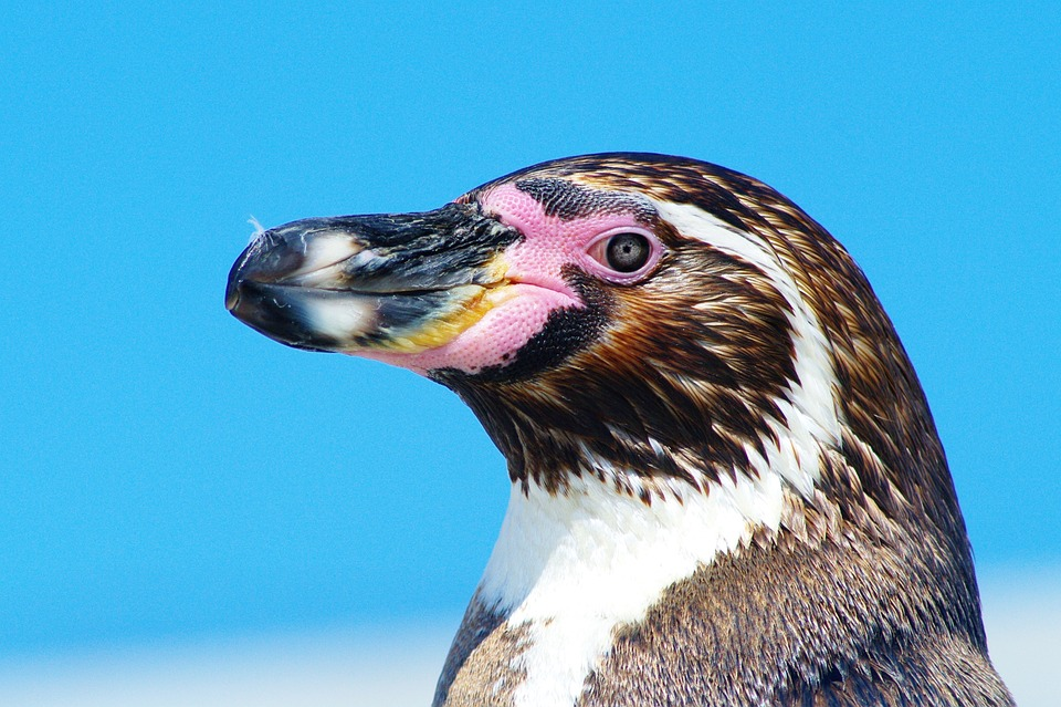 Penguin, Bird, Close, Animal, Birds, Animal World, Bill