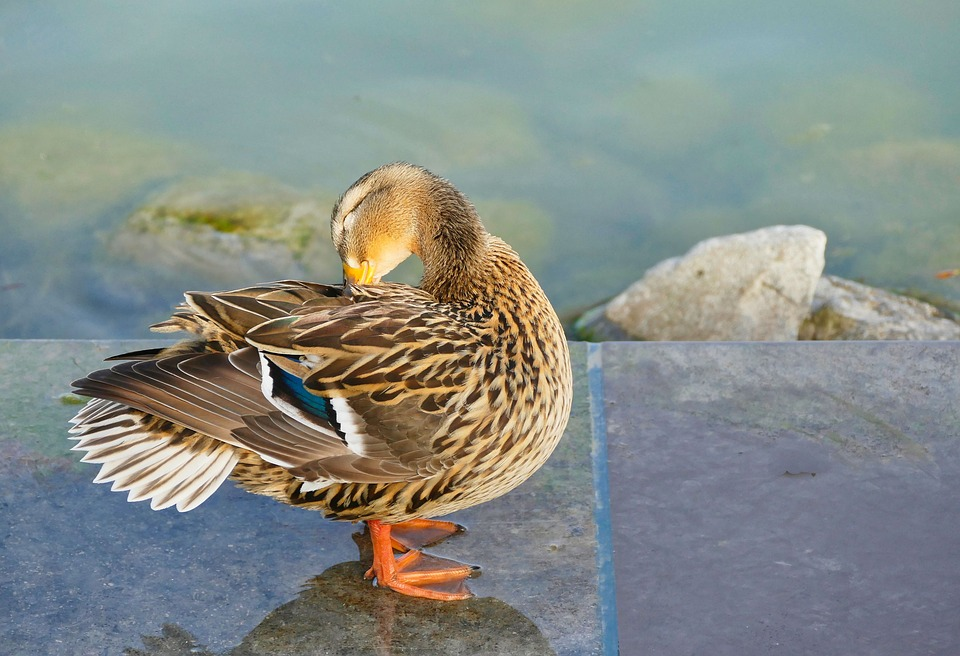 Duck, Bird, Nature, Feather, Animal World, Animal