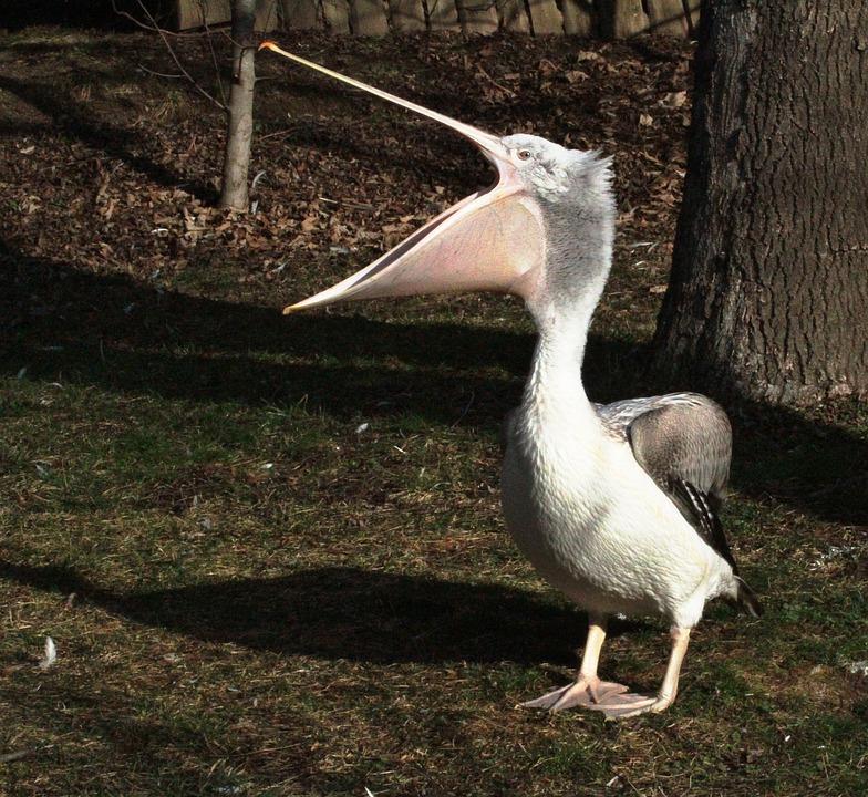 Pelican, Animal, Bird, Zoo