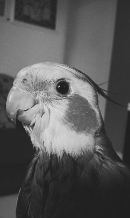 Parrot, Bird, Cute, Animals, Eye, Black And White
