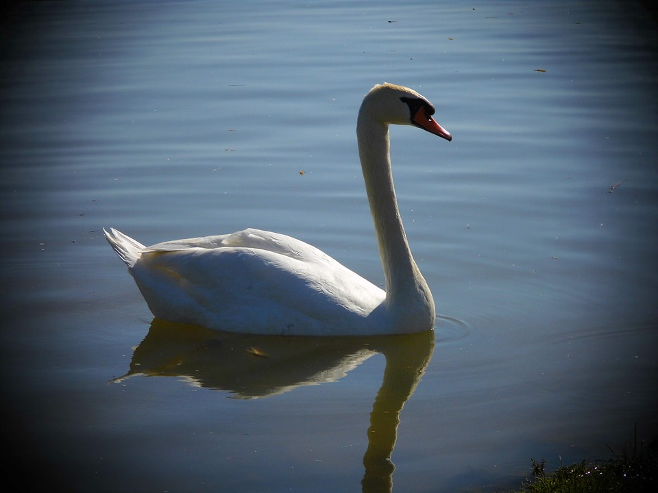 Swan, Aqueous, Bird