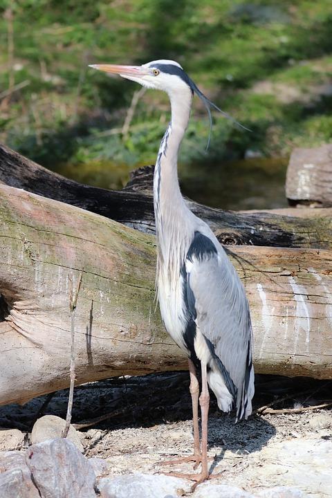 Heron, Ash, Bird, Large, Predator, Standing, Water, Zoo