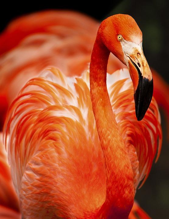 Flamingo, Bird, Animal, Avian, Beak, Feathers, Plumage