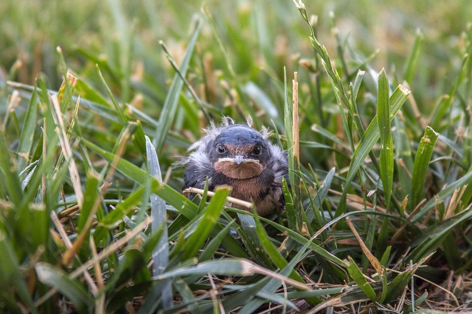 Bird, Baby, Grass