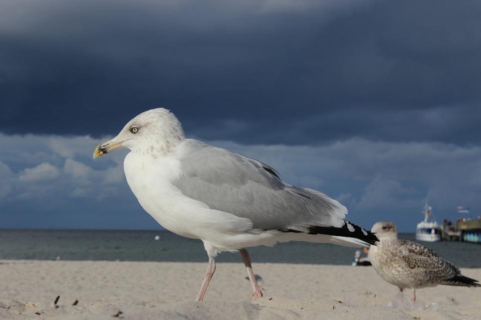 Seagull, Beach, Sea, Baltic Sea, Water, Coast, Bird