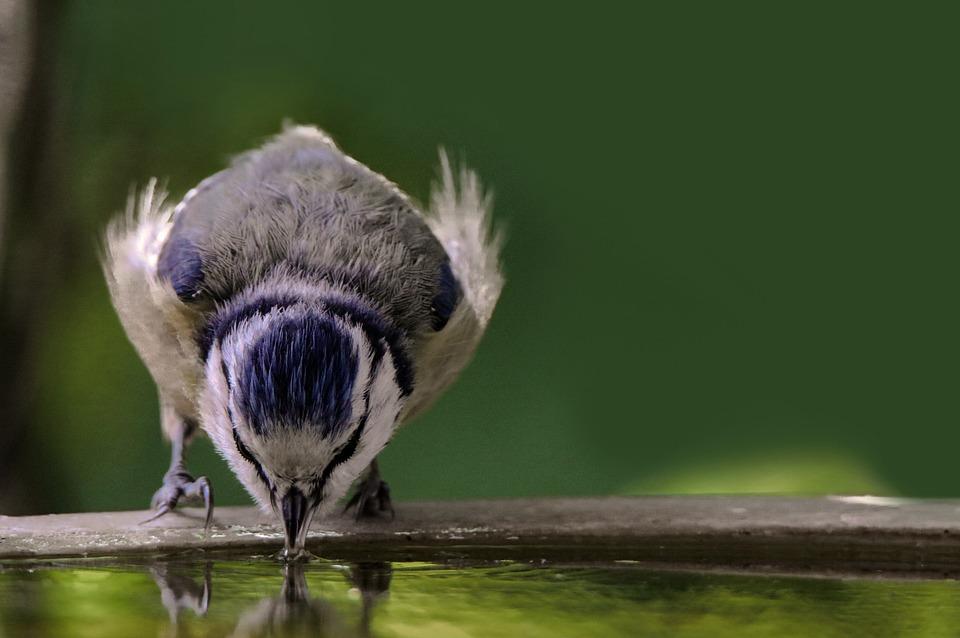 Animal World, Bird, Tit, Blue Tit, Thirst, Bird Bath