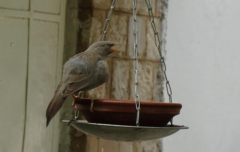 Bird, Babbler, Jungle Babbler, Argya Striata, Bird Bath