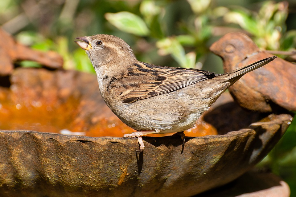 Sparrow, House Sparrow, Bird, Small Bird, Bird Bath