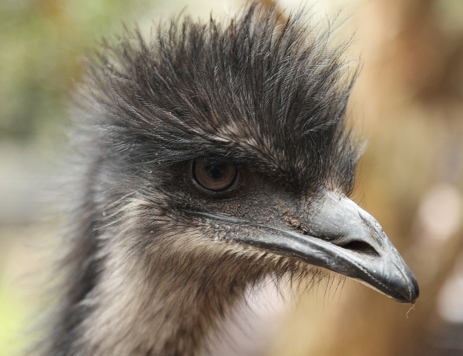 Emu, Animal, Bird, Head, Beak