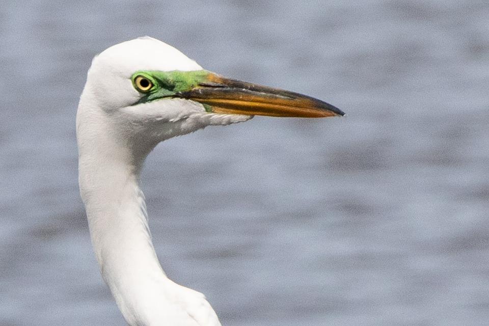 Egret, Great White Egret, Head, Beak, Bird