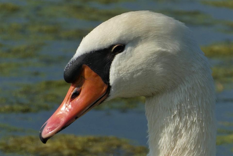 Swan, Beak, Eyes, Head, Animal, Bird, Pride, Plumage