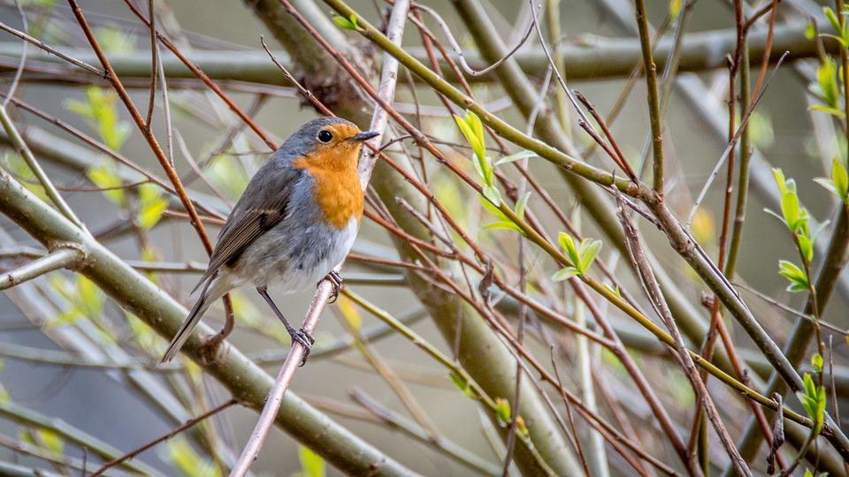 Robin, Erithacus Rubecula, Bird, Small, Beak