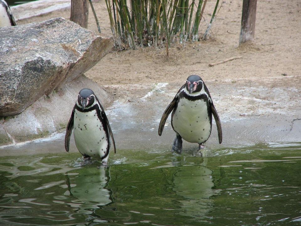 Penguin, Animal, Animals, Antarctica, Beaks, Bird