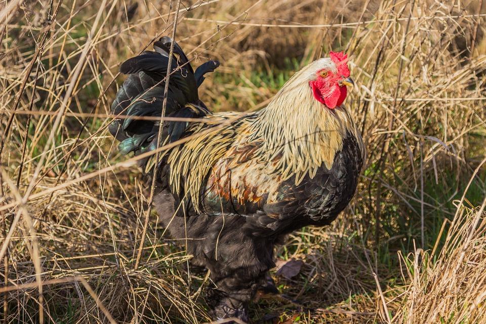 Hahn, Chicken, Breed Chicken, Bird, Agriculture, Bill
