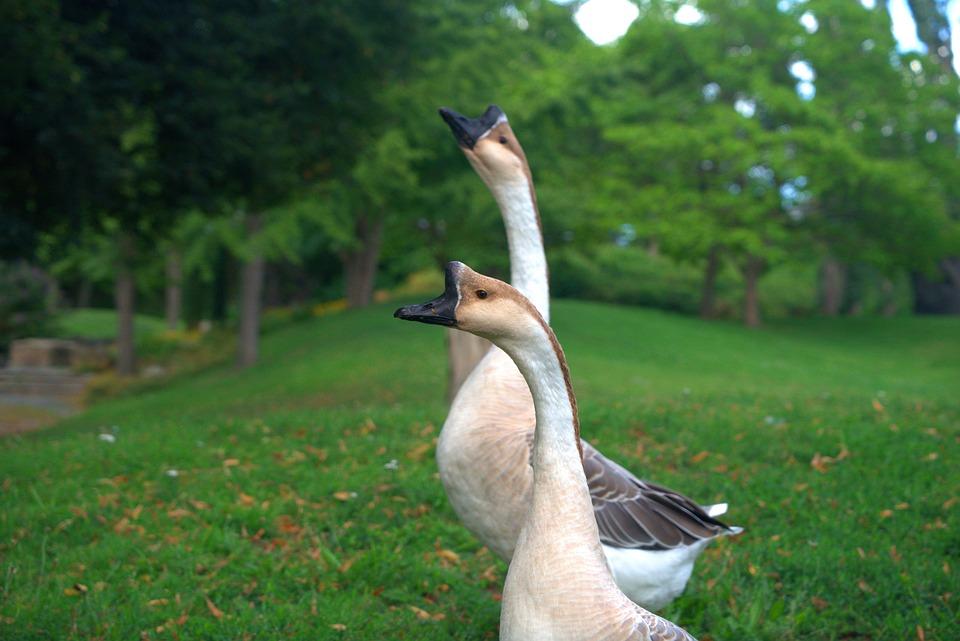Goose, Wild Goose, Poultry, Plumage, Bird, Nature, Bill