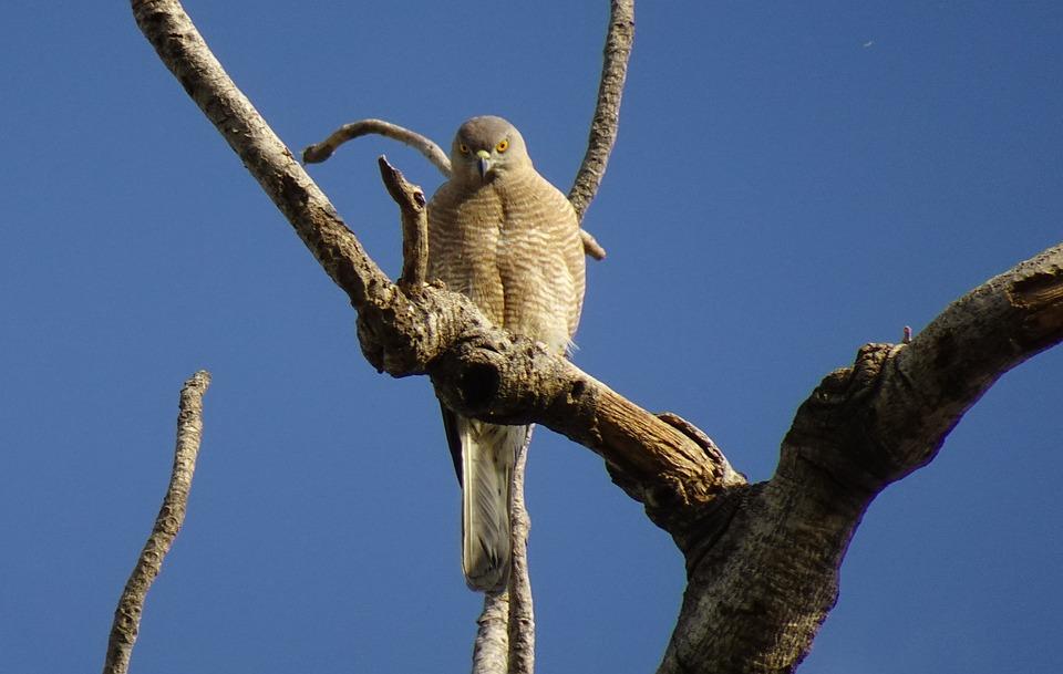 Bird, Shikra, Accipiter Badius, Female, Bird Of Prey
