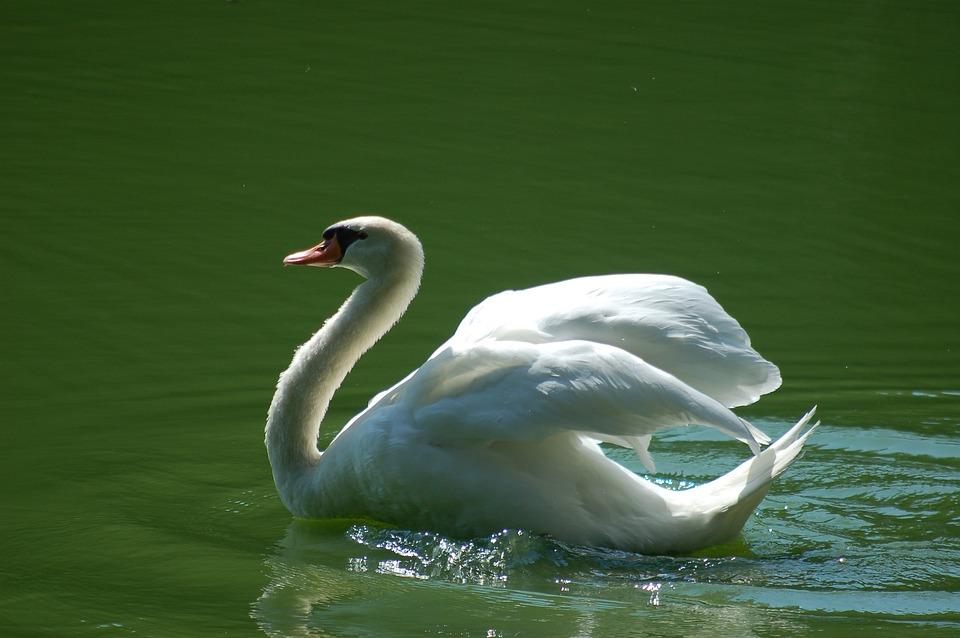 Swan, Birds, Bird, White, Plumage, Elegant