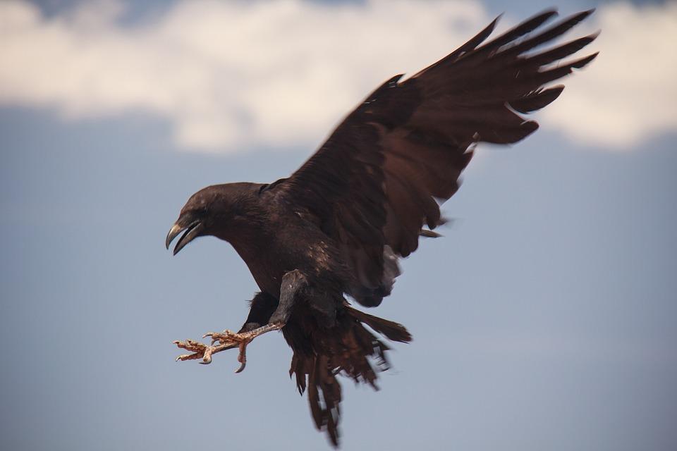free photo bird black flying raven max pixel