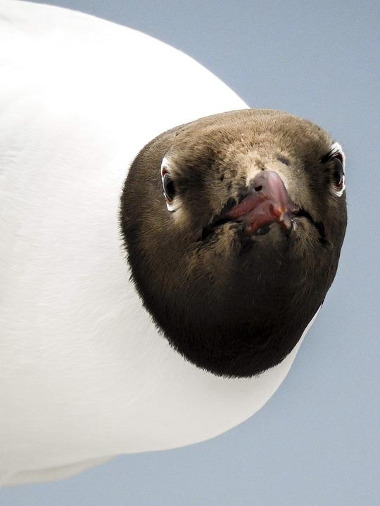 Black Headed Gull, Seagull, Bird, Nature, Animal