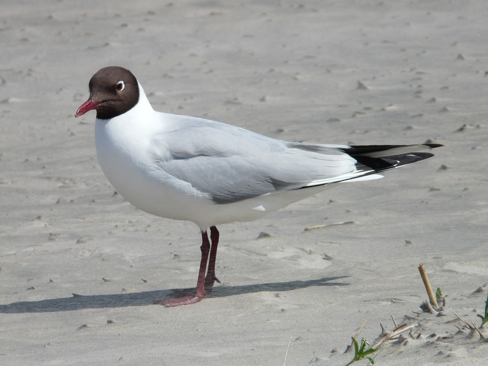 Black Headed Gull, Seagull, Bird