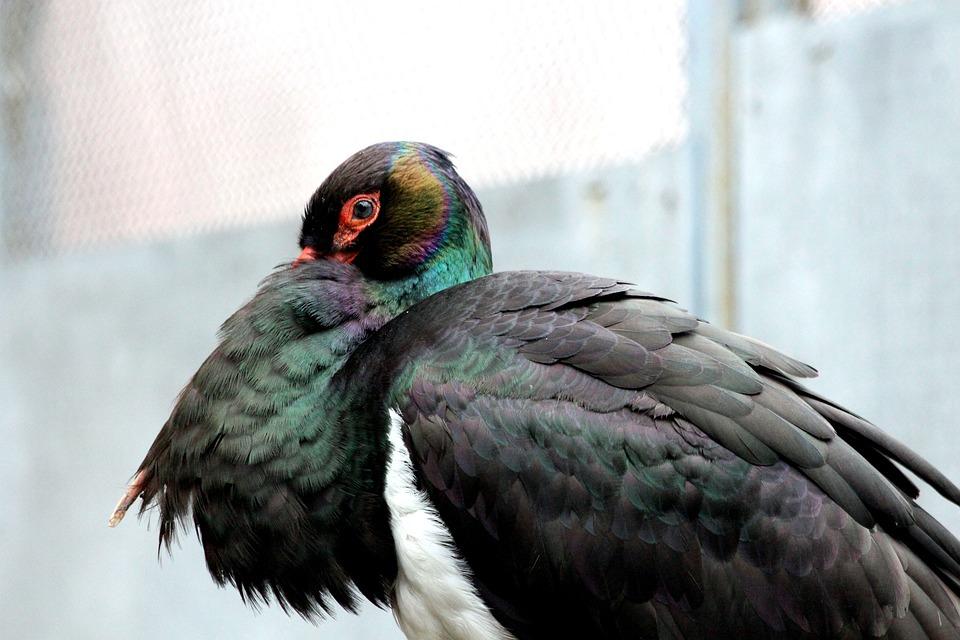 Stork, Black Stork, Bird, Feathered Race, Nature