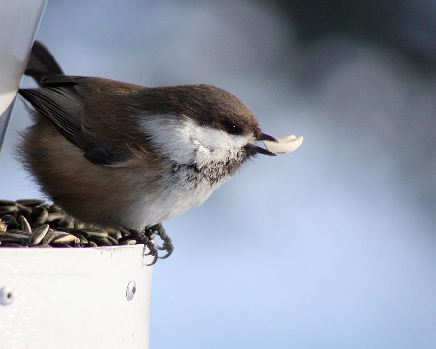 Chickadee, Black-capped, Tit, Bird, Siberian Tit