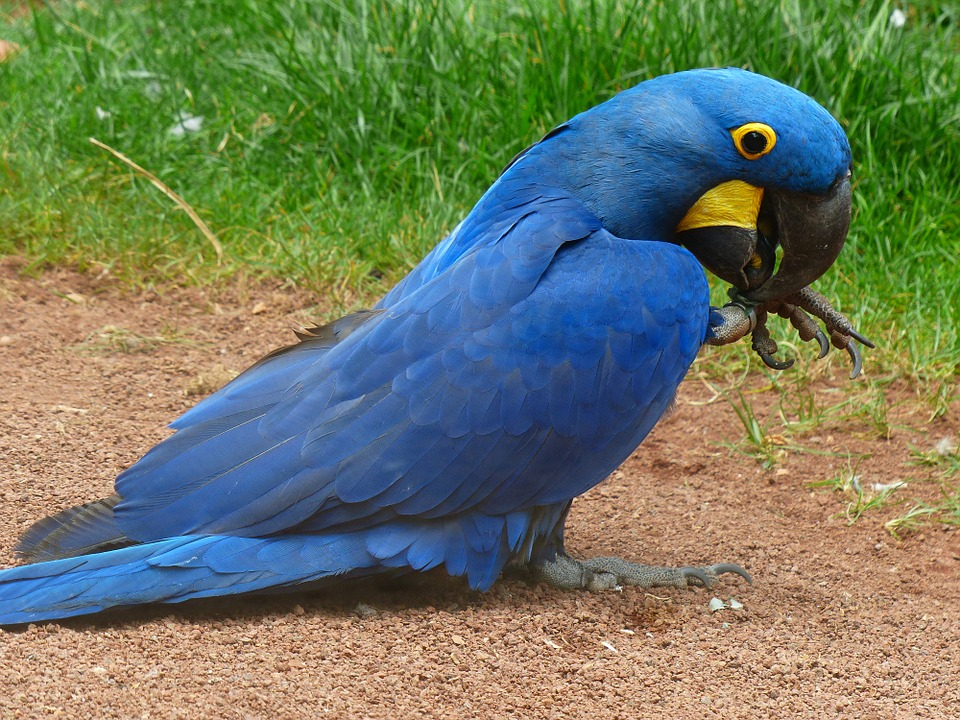 Blauaras, Hyazinth-ara, Anodorhynchus, Parrot, Bird
