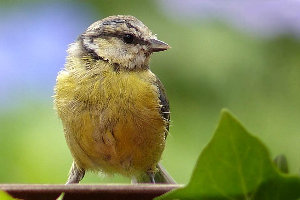 Animal, Bird, Blue Tit, Young, Cyanistes Caeruleus
