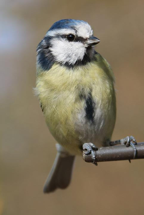 Blue Tit, Garden Bird, Blue, Tit, Bird, Garden