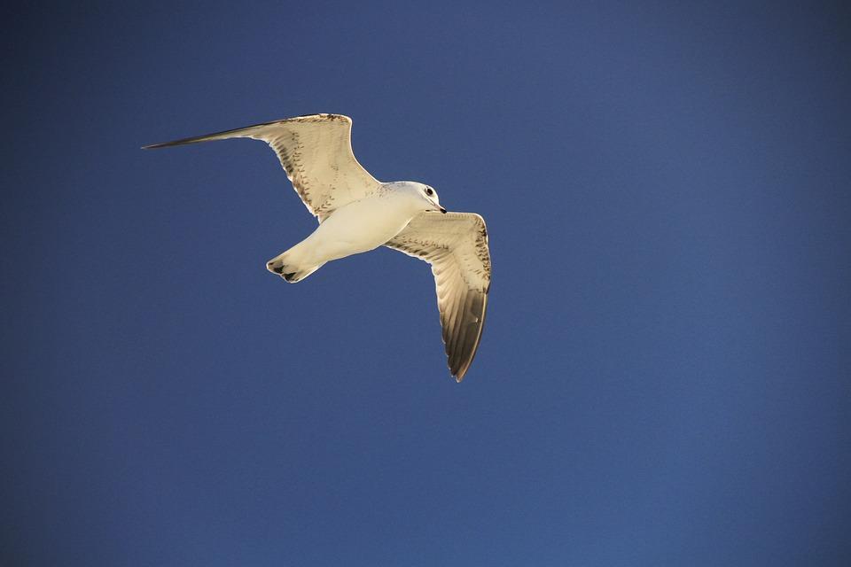 Seagull, Blue, Sky, Bird, Marine, Water, Clouds, White