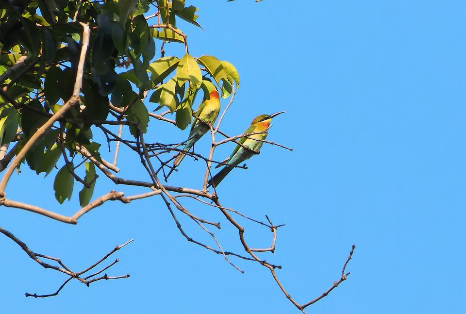 Blue-tailed Bee Eater, Wild, Bird, Wildlife, Seasonal