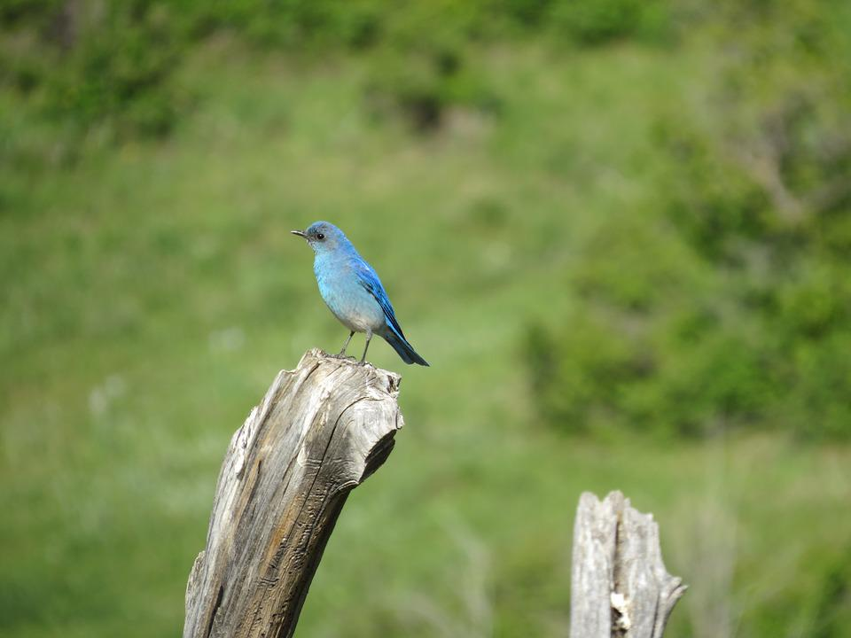 Bluebird, Nature, Bird, Blue, Feathers, Perch, Vivid