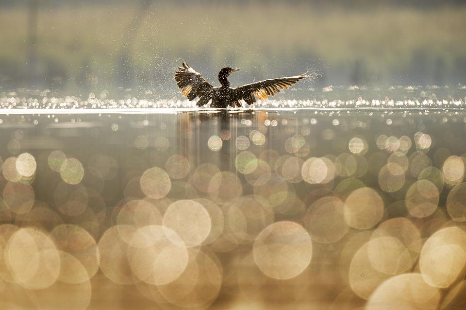 Bird, Blur, Bokeh, Lake, Nature, Reflection, River