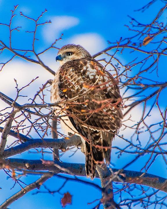 Hawk, Bird, Branch, Animal, Bird Of Prey, Raptor