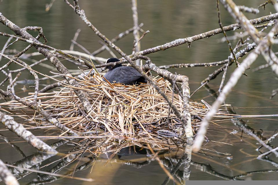 Coot, Bird, Nest, Branches, Lake, Animal, Wildlife