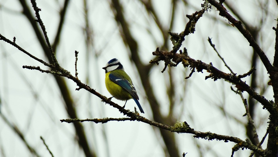 Tit, Bird, Branches, Perched, Perched Bird, Ave, Avian