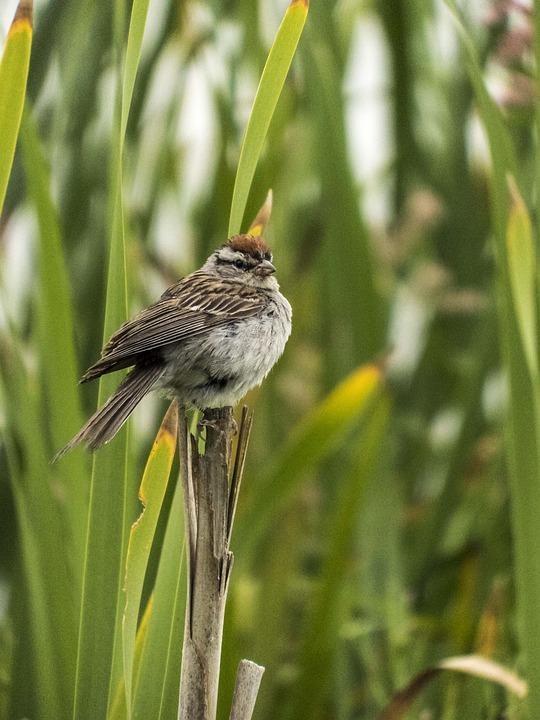 Bird, Cattail, Brown
