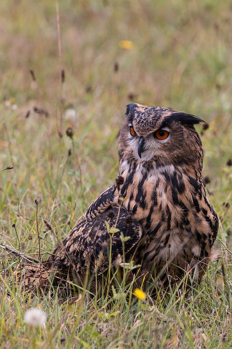 Eagle Owl, Bubo Bubo, Owl, Bird, Feather, Nature
