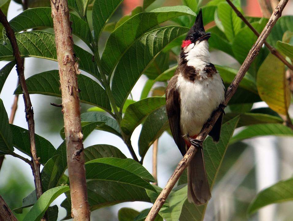Red-whiskered Bulbul, Pycnonotus Jocosus, Bulbul, Bird
