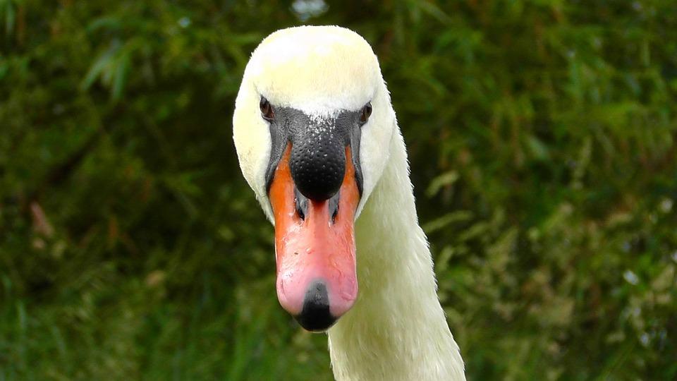 Swan Head, Swan, View, Close, Bill, Bird, Birds, Swans