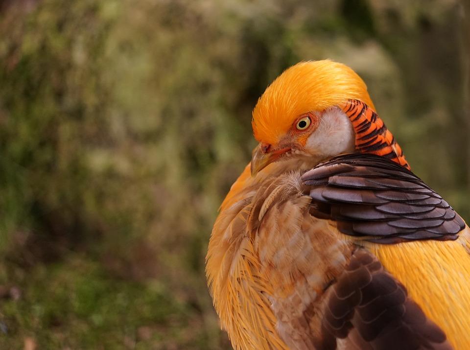 Goldfasan, Head, Bird, Portrait, Close