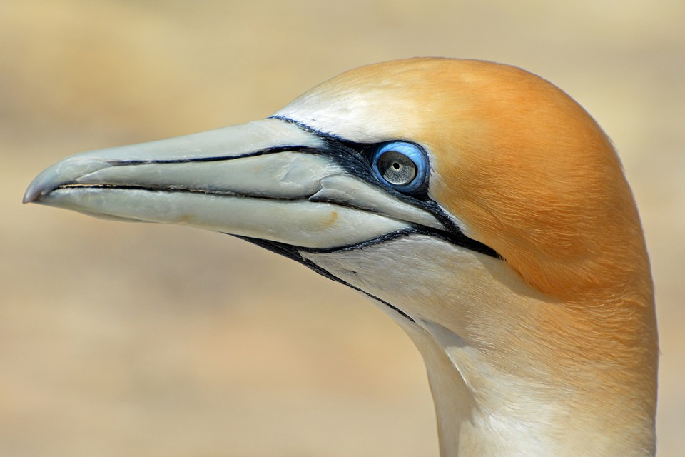 Northern Gannet, Bird, Animal, Nature, Close