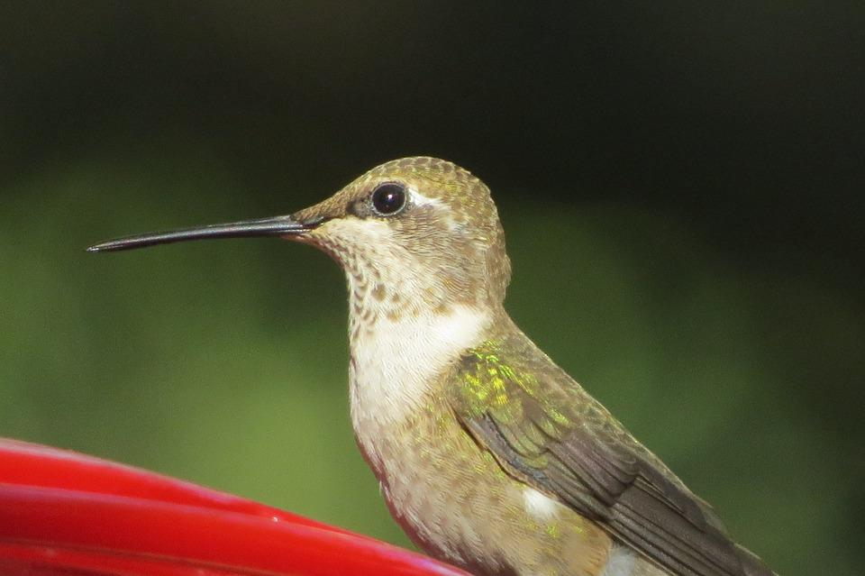 Bird, Hummingbird, Close Up, Wildlife