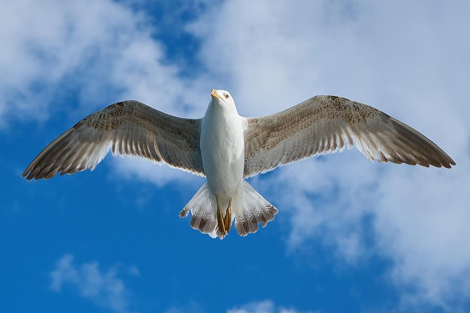 Seagull, Bird, Fly, Animal, Freedom, Closeup, Wings