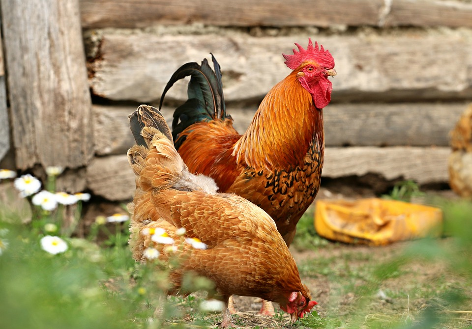 Cock, Chicken, Village, Yard, Family, Bird, Home, Barn