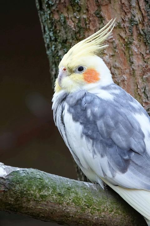 Cockatiel, Bird, Parakeet, Spring Bonnet, Parrot