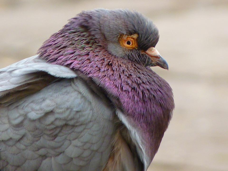 Dove, Bird, Aufplustern, Cold